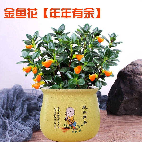 【当年开花四季常青】金鱼花花苗绿植花卉盆栽